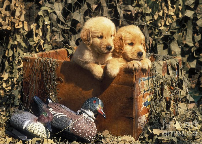 Golden Greeting Card featuring the photograph Hunting Buddies - Fs000130 by Daniel Dempster