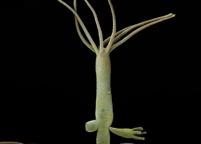 Asexual Reproduction Greeting Card featuring the photograph Hydra Budding by Science Photo Library