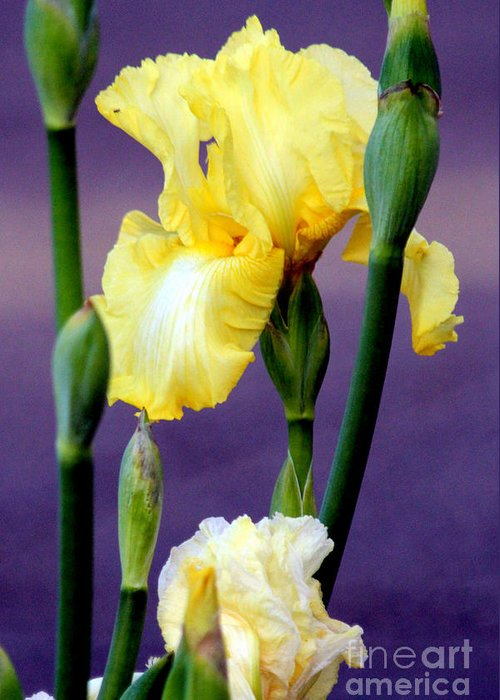 Yellow Bearded Iris Greeting Card featuring the photograph I Only Have Iris For You by Kathy White