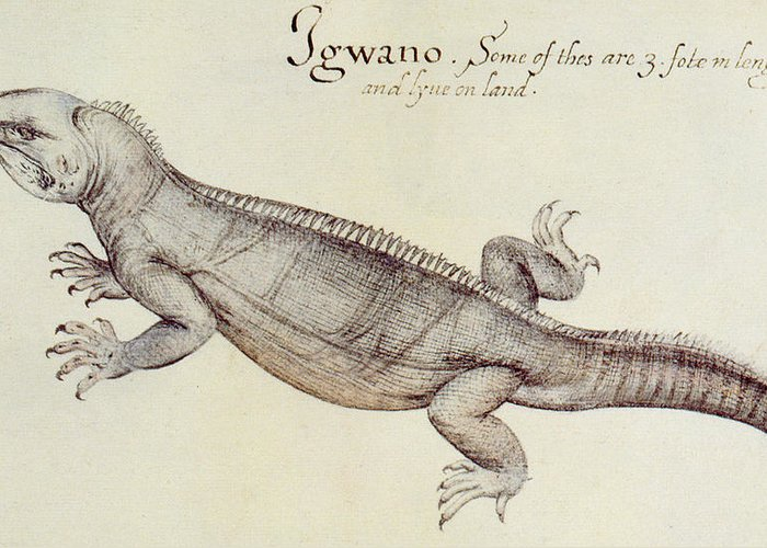 Iguana Greeting Card featuring the painting Iguana by John White