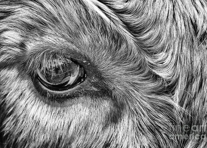 Cadzow Cattle Greeting Card featuring the photograph In The Eye by John Farnan