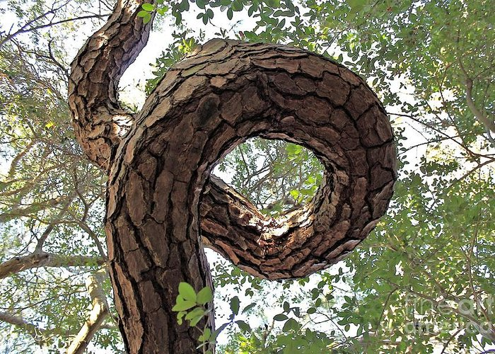 Pine Greeting Card featuring the photograph In The Spiral Of Life Always Reach For The Sky by Kenny Sampson