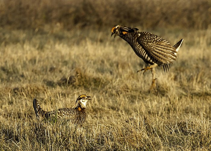 Wisconsin Prairie Chickens Greeting Card featuring the photograph Intimidating Jump by Thomas Young