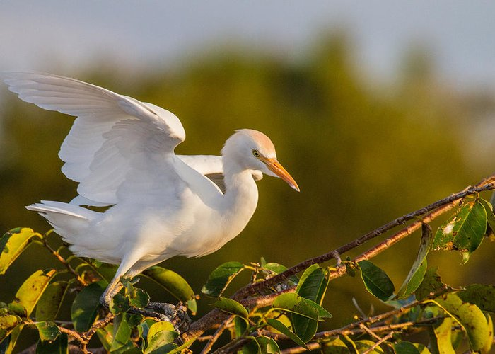 Animal Greeting Card featuring the photograph Juvenile Cattle Egret by Andres Leon
