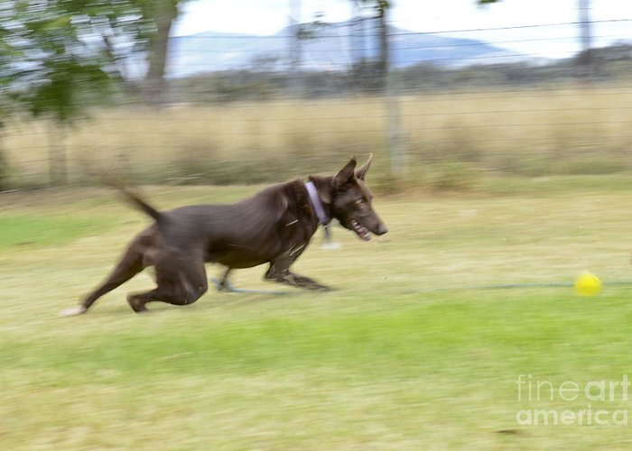 Dog Greeting Card featuring the photograph Kelpie Chasing A Ball by Christopher Edmunds