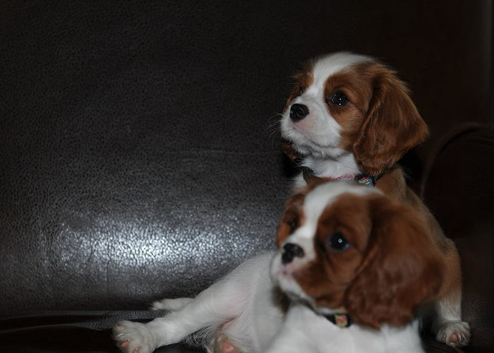 Cavalier King Charles Spaniel Greeting Card featuring the photograph King Charles Puppies by Dale Powell