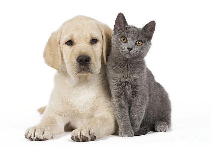 Labrador Retriever Greeting Card featuring the photograph Labrador Puppy With Chartreux Kitten by Jean-Michel Labat