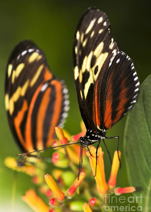 Danaidae Greeting Card featuring the photograph Large Tiger Butterflies by Elena Elisseeva