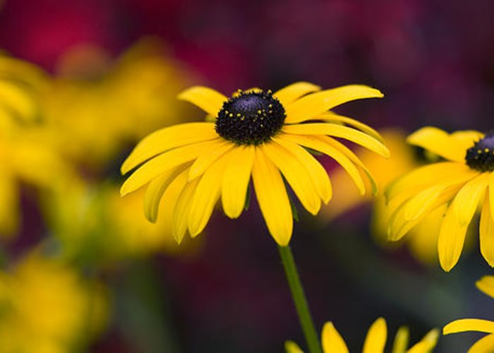 Rudbeckia Fulgida Greeting Card featuring the photograph Late Summer Rudbeckia by Tim Gainey