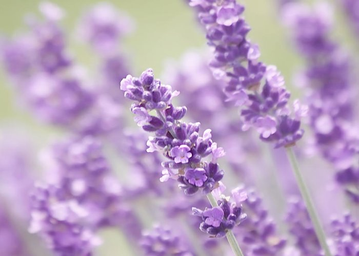 Lavender Greeting Card featuring the photograph Lavender Dreams by Kim Hojnacki