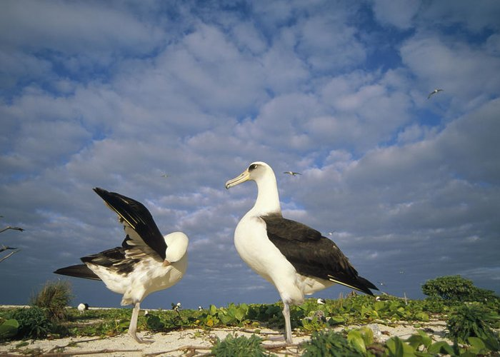 Feb0514 Greeting Card featuring the photograph Laysan Albatross Courtship Dance Hawaii by Tui De Roy