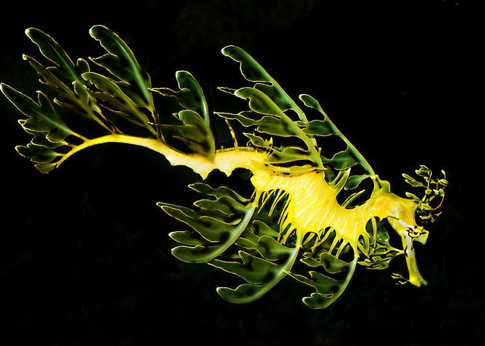 Sea Creature Leafy Sea Dragon Ocean Greeting Card featuring the photograph Leafy Sea Dragon by James Roemmling