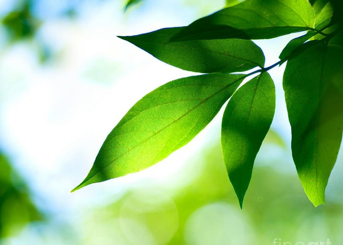 Green Greeting Card featuring the photograph Leaves Green by Boon Mee