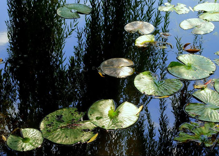 Lilly Pad Greeting Card featuring the photograph Lilly Pad Reflection by Frozen in Time Fine Art Photography