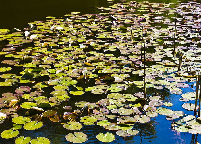 Pond Greeting Card featuring the photograph Lilly Pads by David Pyatt