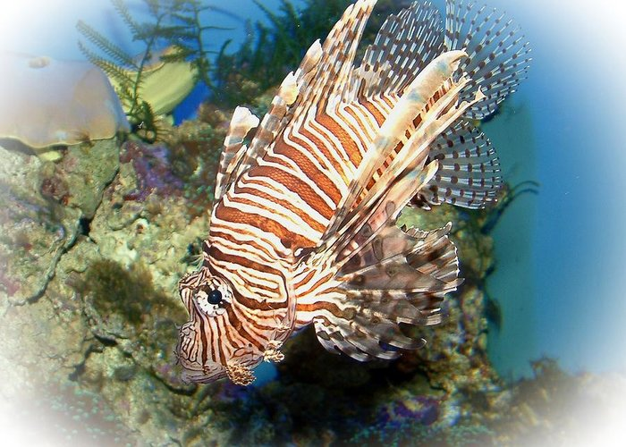 Lion Fish Greeting Card featuring the photograph Lion Fish 2 by TN Fairey