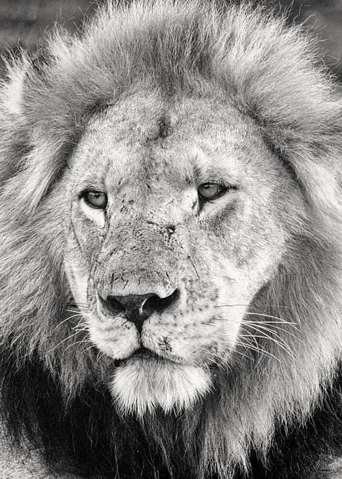 3scape Photos Greeting Card featuring the photograph Lion King by Adam Romanowicz