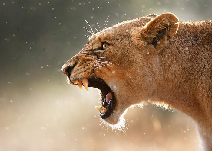Lion Greeting Card featuring the photograph Lioness Displaying Dangerous Teeth In A Rainstorm by Johan Swanepoel