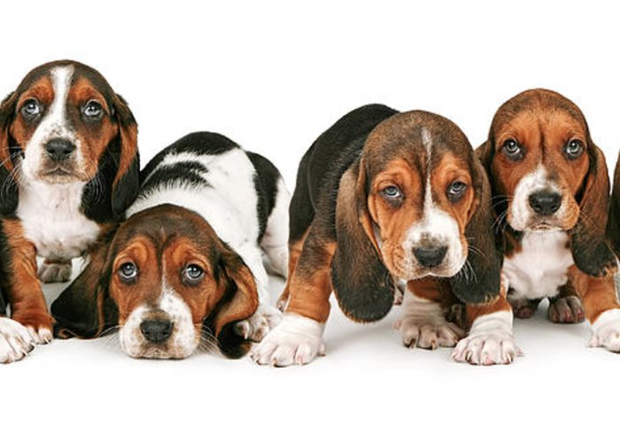 Pets Greeting Card featuring the photograph Litter Of Basset Hound Puppies by Susan Schmitz