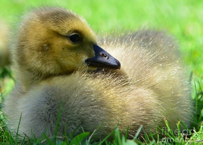 Goose Greeting Card featuring the photograph Little One by Kathleen Struckle