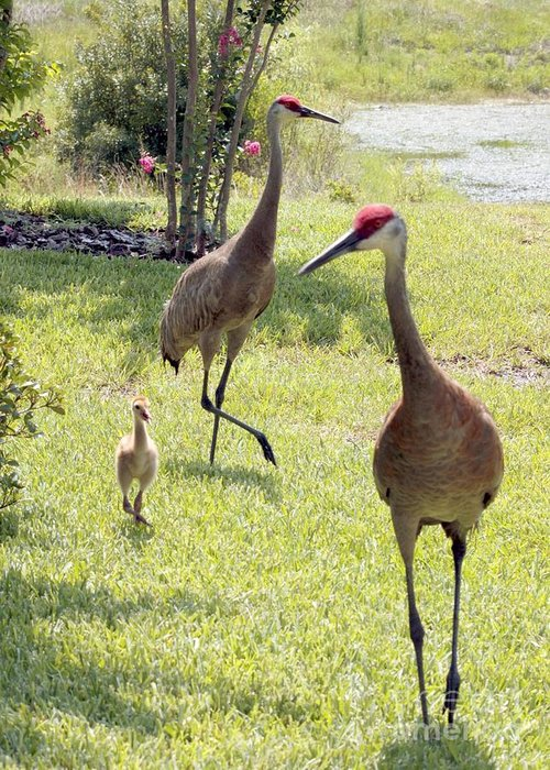 Sandhill Crane Greeting Card featuring the photograph Looking For A Handout by Carol Groenen