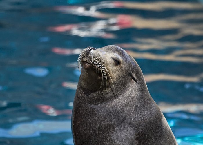 California Sea Lion Greeting Card featuring the photograph Looking Up by Douglas Barnard