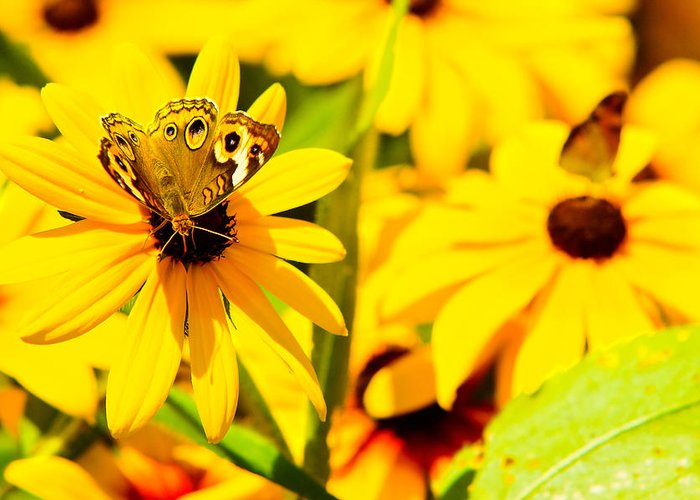 Butterfly Greeting Card featuring the pyrography Lost In Yellow by Kevin Read