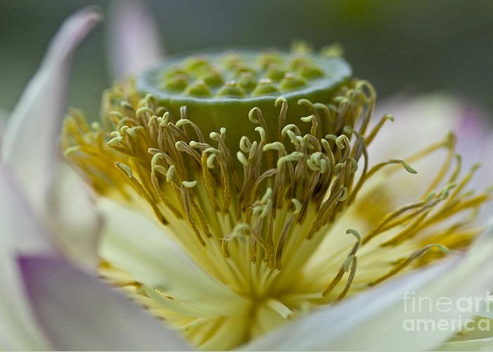 Lotus Greeting Card featuring the photograph Lotus Detail by Heiko Koehrer-Wagner