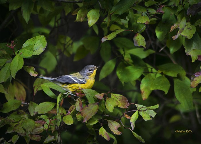 Bird Greeting Card featuring the photograph Magnolia Warbler by Christina Rollo