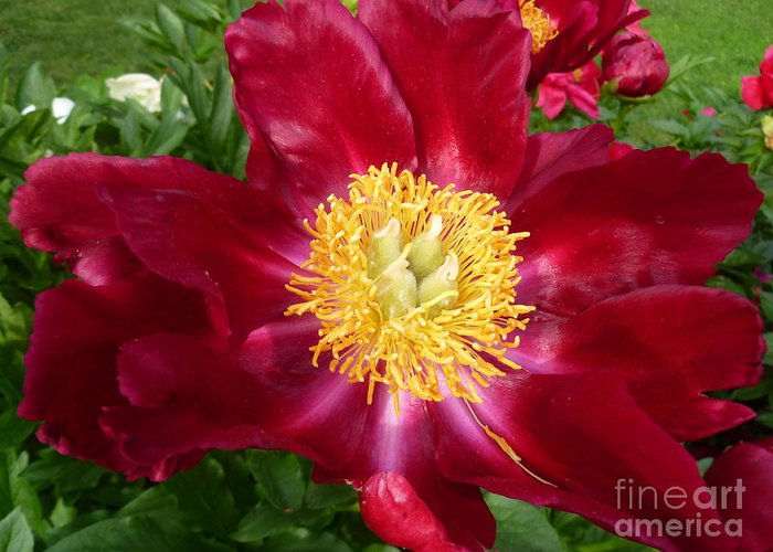 Peony Flower Greeting Card featuring the photograph Mahogany Peony by Lingfai Leung