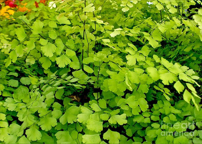 Photography Greeting Card featuring the photograph Maidenhair Fern by Kaye Menner
