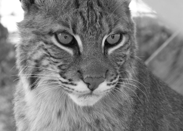 Cats Greeting Card featuring the photograph Male Bobcat - Black And White by Jennifer King