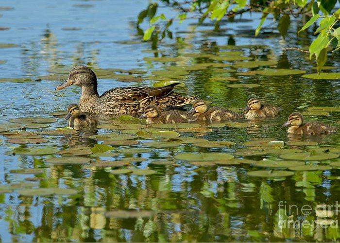 Mallard Ducks Greeting Card featuring the photograph Mallard Mom And The Kids by Sharon Talson