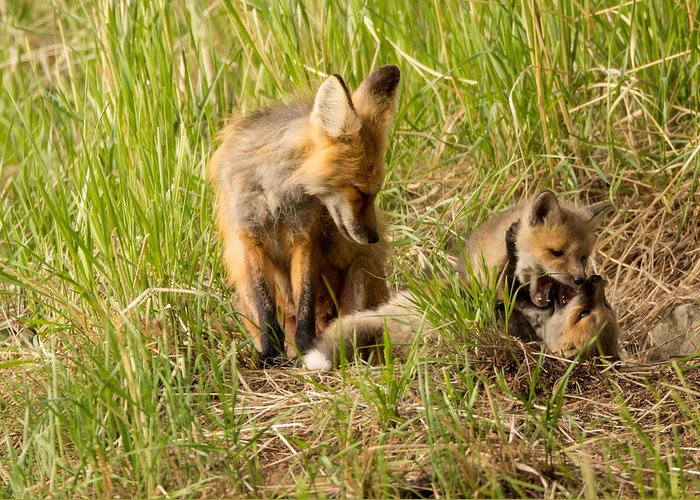 Fox Greeting Card featuring the photograph Mama Fox And Kits 2 by Natural Focal Point Photography