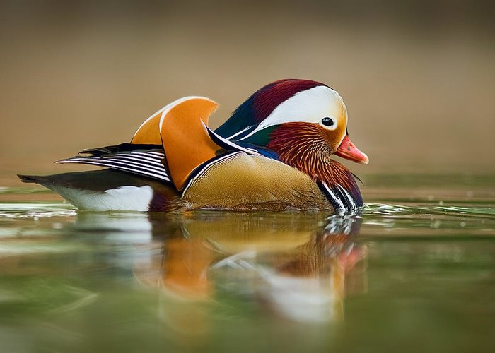 Mandarin Greeting Card featuring the photograph Mandarin by Yuri Peress