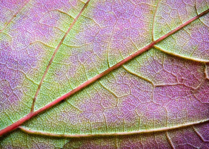 3scape Photos Greeting Card featuring the photograph Maple Leaf Macro by Adam Romanowicz