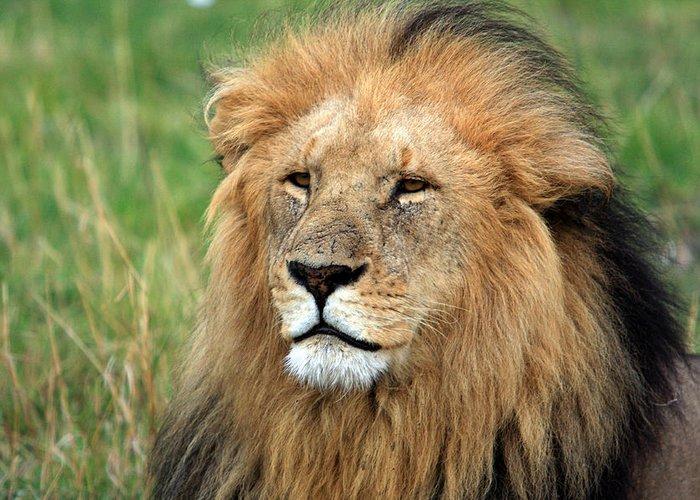 Lion Greeting Card featuring the photograph Masai Mara Lion Portrait  by Aidan Moran