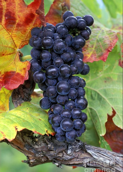 Harvest Greeting Card featuring the photograph Merlot Grapes by Kevin Miller