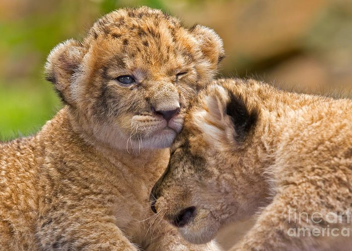 Khao Kheow Open Zoo Greeting Card featuring the photograph Minor Collision by Ashley Vincent