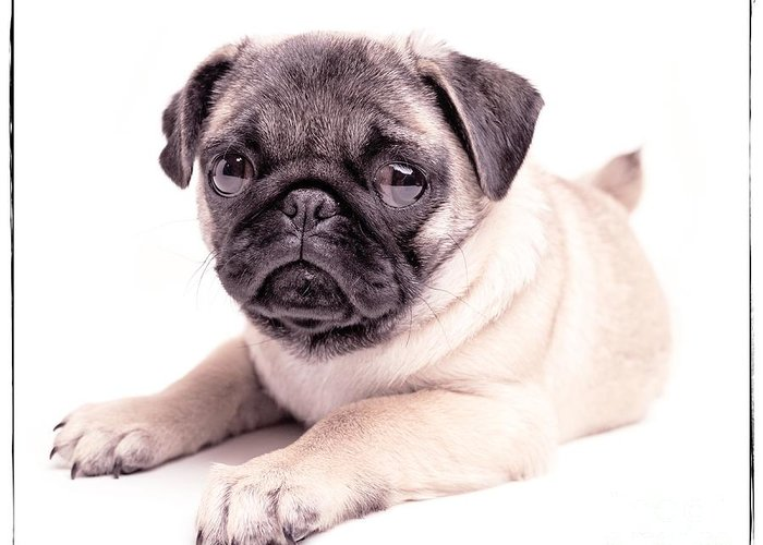 Pug Greeting Card featuring the photograph Miss You by Edward Fielding