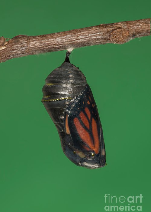 Clarence Holmes Greeting Card featuring the photograph Monarch Butterfly Chrysalis Iv by Clarence Holmes