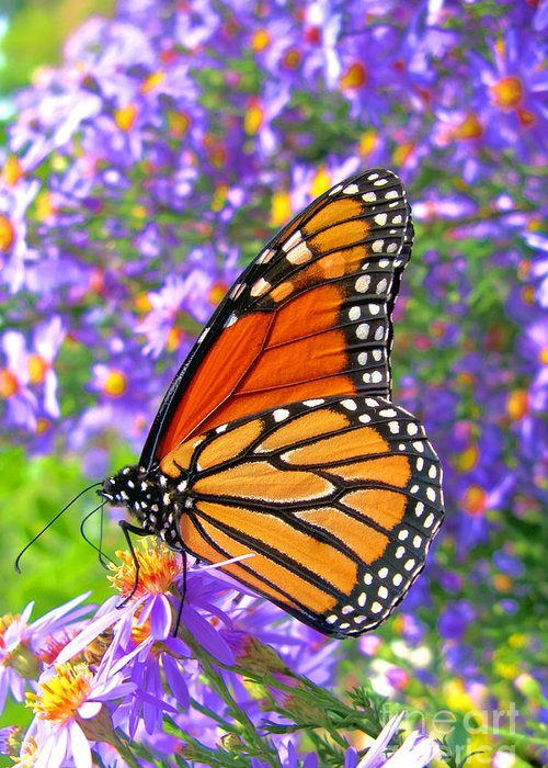 Butterfly Greeting Card featuring the photograph Monarch Butterfly by Olivier Le Queinec