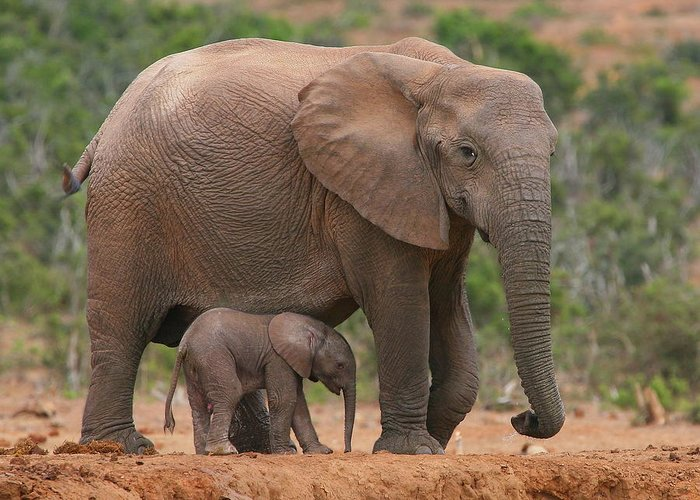 Elephant Greeting Card featuring the photograph Mother And Calf by Bruce J Robinson