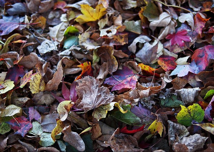 Colorful Greeting Card featuring the photograph Multicolored Autumn Leaves by Rona Black