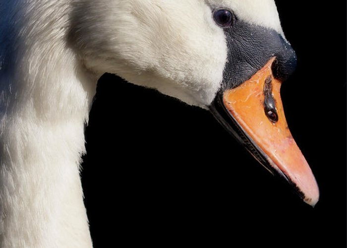 Swans Greeting Card featuring the photograph Mute Swan by Wobblymol Davis