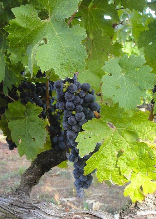 Napa Valley Greeting Card featuring the photograph Napa Valley Vineyard Grapes by Jennifer Lamanca Kaufman