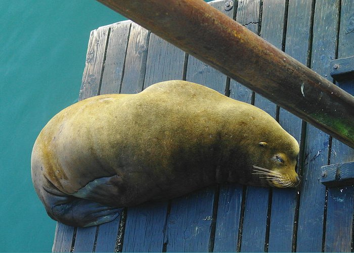 Animals Greeting Card featuring the photograph Napping Sea Lion by Jeff Swan
