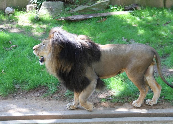 National Greeting Card featuring the photograph National Zoo - Lion - 01131 by DC Photographer