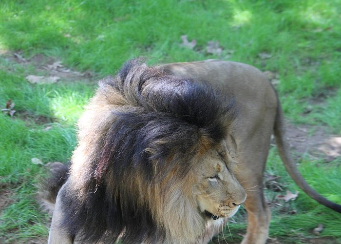 National Greeting Card featuring the photograph National Zoo - Lion - 01132 by DC Photographer