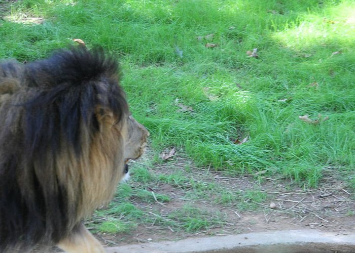 National Greeting Card featuring the photograph National Zoo - Lion - 01134 by DC Photographer